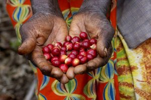 Coffee-Cherries-Hands-Small
